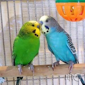 Buggies Bird | Birds for sale in Lagos State, Ikeja