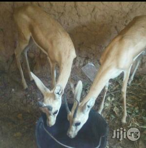 Male And Female Antelope Available For Sale | Other Animals for sale in Oyo State, Ibadan
