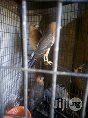 Falcon Bird For Sale | Birds for sale in Oyo State, Ibadan