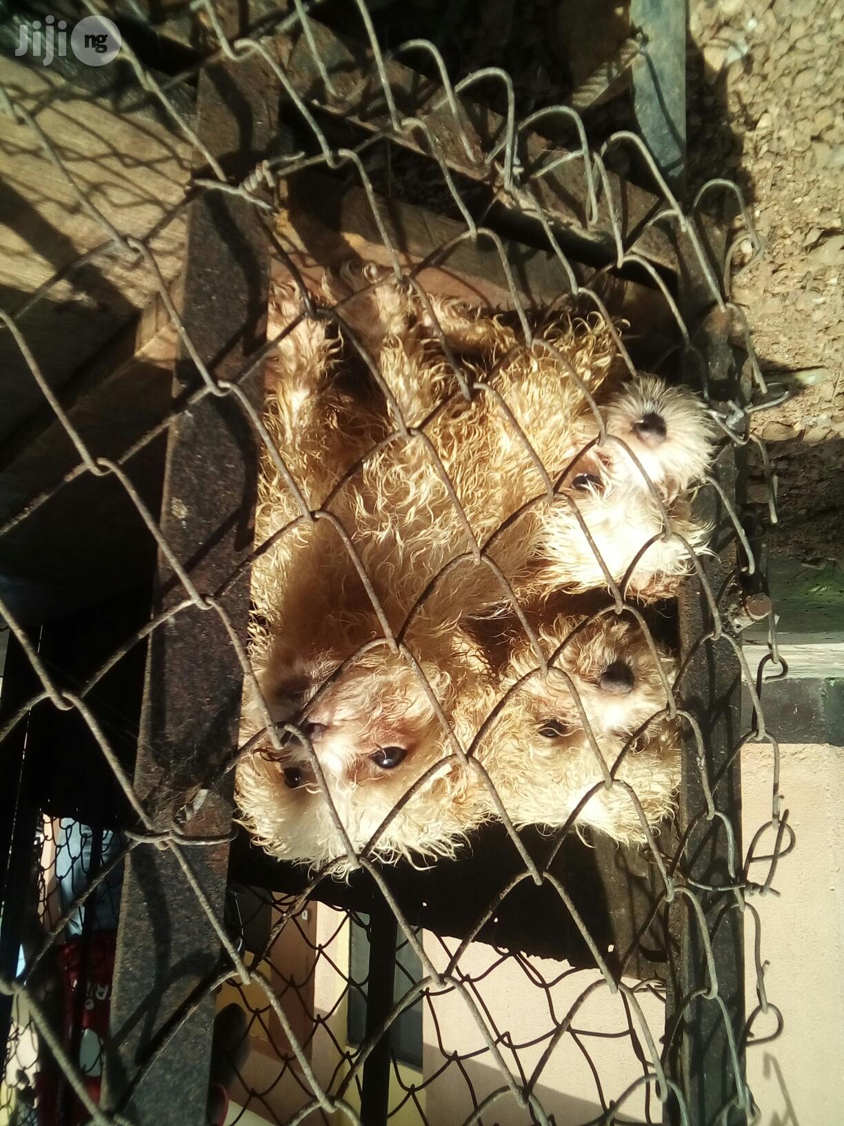 Baby Female Purebred Lhasa Apso | Dogs & Puppies for sale in Ikotun/Igando, Lagos State, Nigeria