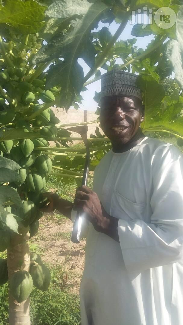 Pawpaw Seed (Dwarf Hybrid) | Feeds, Supplements & Seeds for sale in Kubwa, Abuja (FCT) State, Nigeria