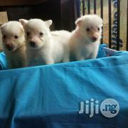 Pure Cute American Eskimo Pups   Dogs & Puppies for sale in Lagos State, Badagry