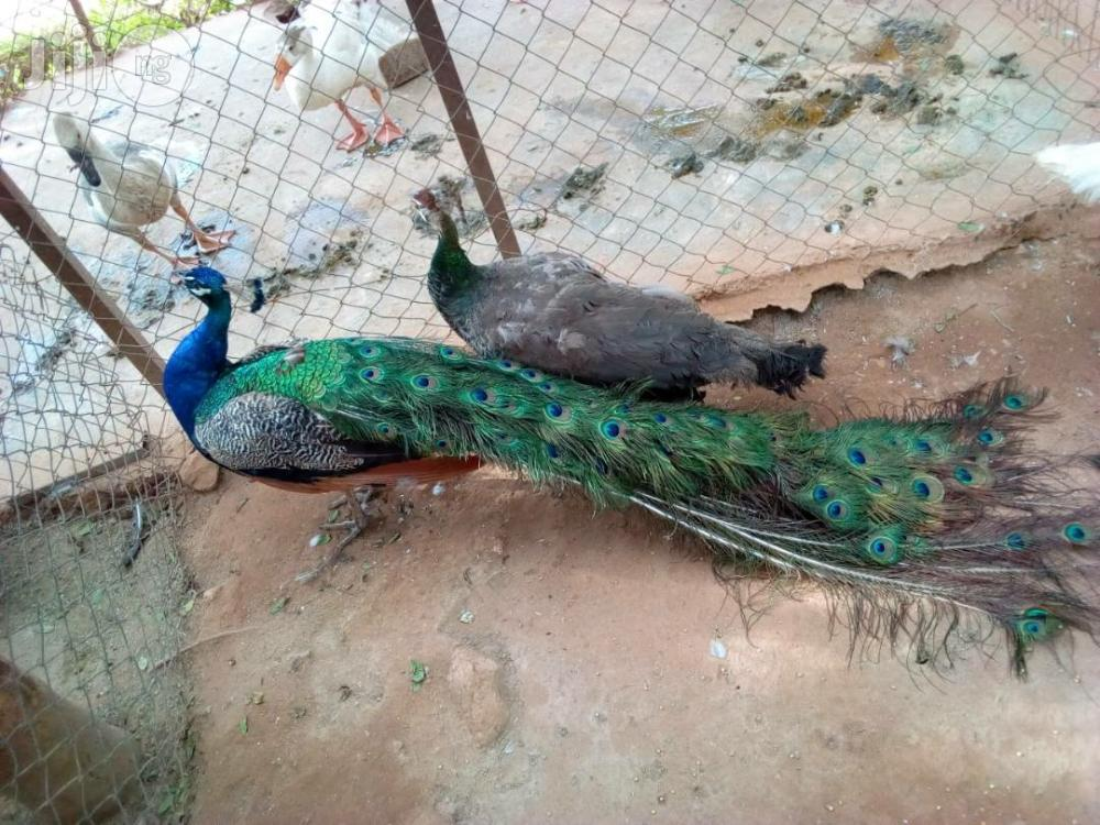 Mature Peacock With Full Tail