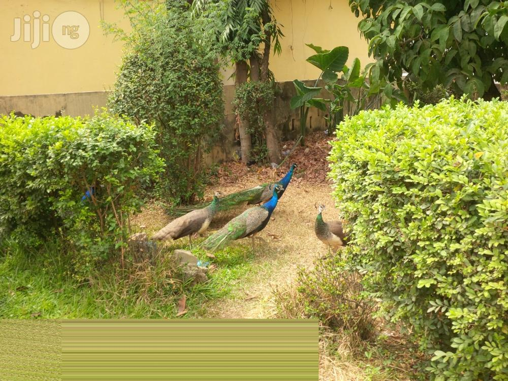 Mature Peacock With Full Tail | Birds for sale in Lekki, Lagos State, Nigeria