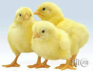 Day Old Chick (Pullet,Cockerel,Broilers,Turkeys) | Livestock & Poultry for sale in Oyo State, Ibadan