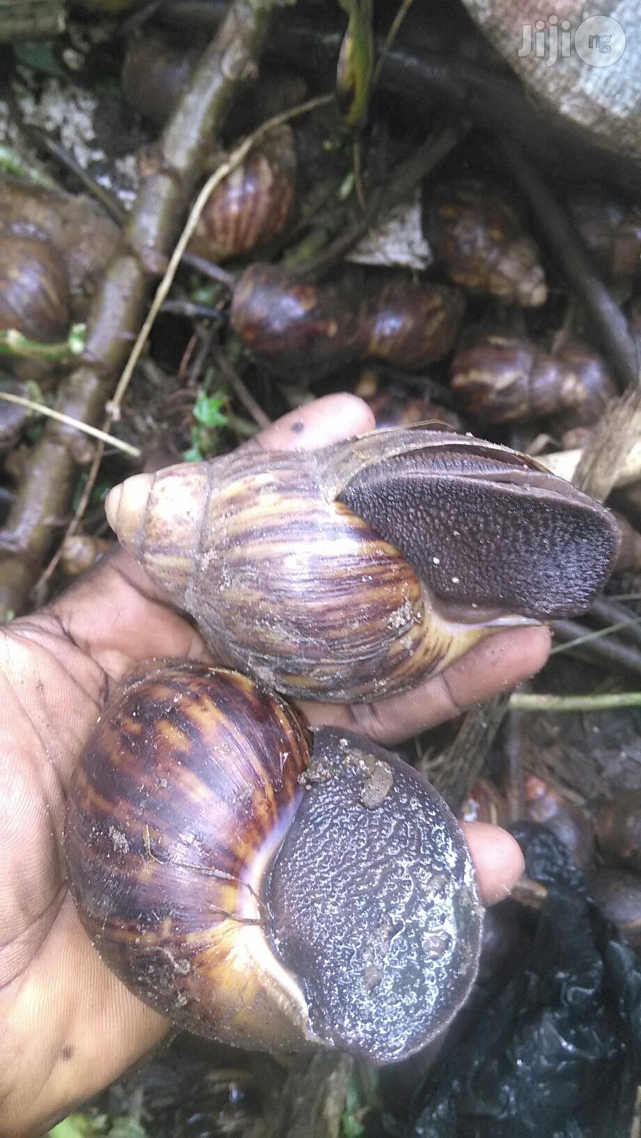 Snail Meat Still The Best | Other Animals for sale in Ado-Odo/Ota, Ogun State, Nigeria