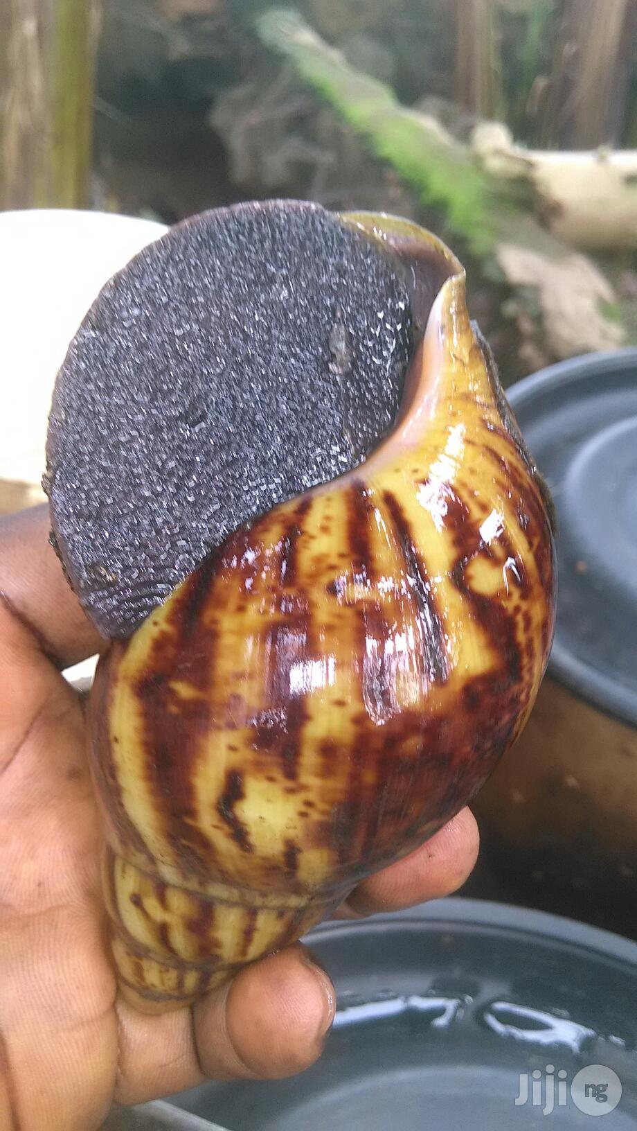 Snail For Sale | Other Animals for sale in Ado-Odo/Ota, Ogun State, Nigeria