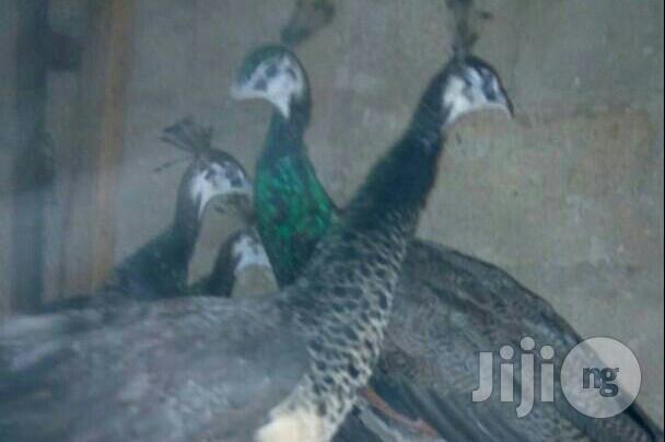 Peacock Bird | Birds for sale in Kubwa, Abuja (FCT) State, Nigeria