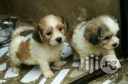 Lhasa Apso Puppy / Puppies Super Cute Indoor Pet Dogs   Dogs & Puppies for sale in Lagos State
