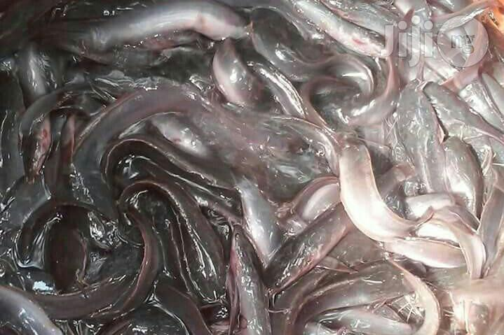 Catfish Fingerlings | Livestock & Poultry for sale in Port-Harcourt, Rivers State, Nigeria