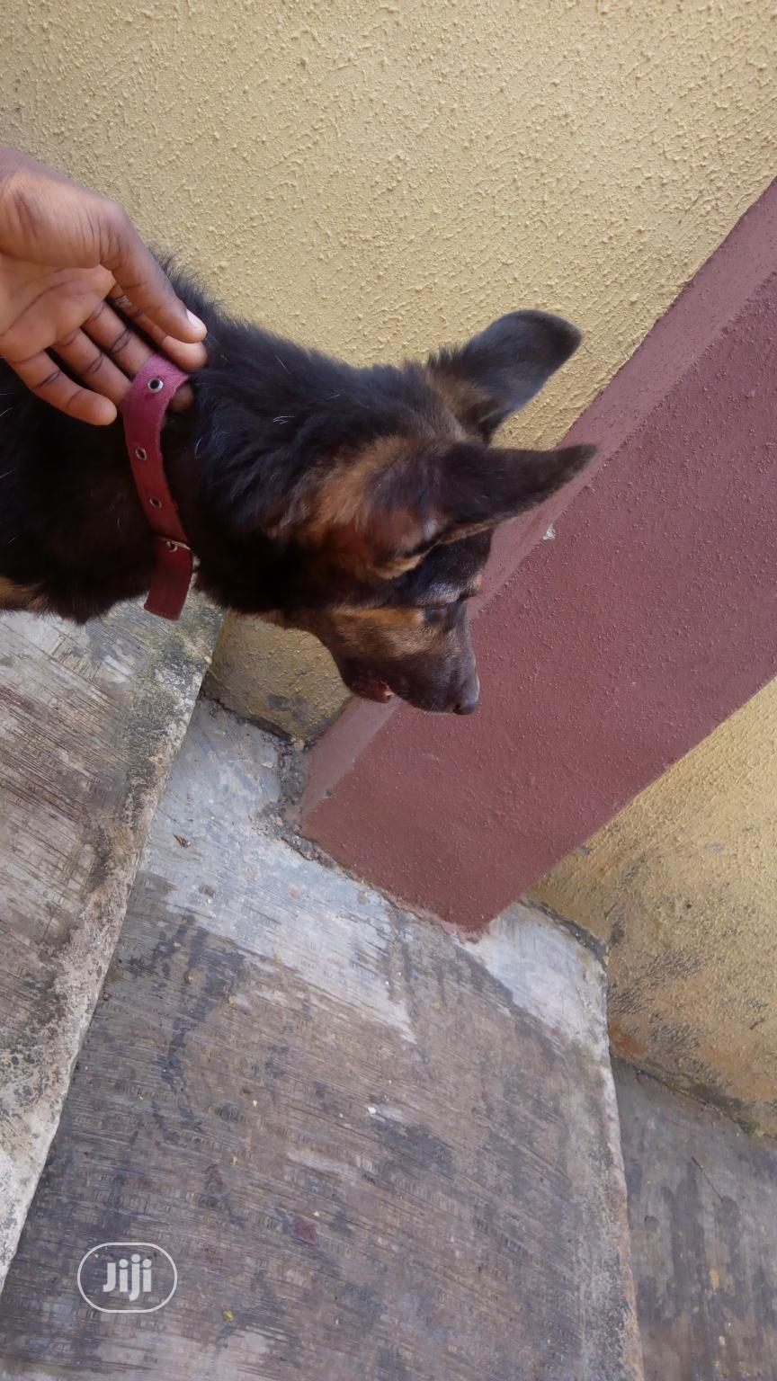 1+ Year Female Purebred German Shepherd | Dogs & Puppies for sale in Ilawe, Ekiti State, Nigeria