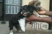 Lhasa Apso - Indoor Small Pet Dog Puppy / Puppies for Sale   Dogs & Puppies for sale in Abuja (FCT) State, Central Business Dis