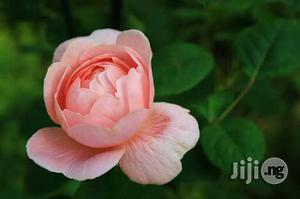 Chinese Rose Flower Seedling | Feeds, Supplements & Seeds for sale in Plateau State, Jos