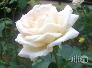 White Rose Flower Seedling | Feeds, Supplements & Seeds for sale in Plateau State, Jos