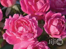 Pink Rose Flower Seedling | Feeds, Supplements & Seeds for sale in Plateau State, Jos