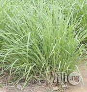 Lemon Grass Seedlings | Feeds, Supplements & Seeds for sale in Plateau State, Jos