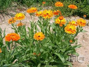 Calendula Flower Seedlings | Feeds, Supplements & Seeds for sale in Plateau State, Jos