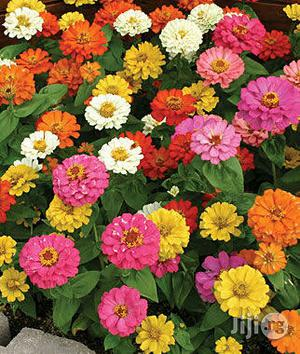 Zinnia Flower Seedlings | Feeds, Supplements & Seeds for sale in Plateau State, Jos