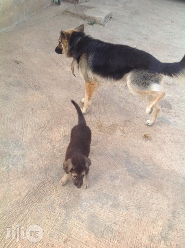 Mating Stud Service   Pet Services for sale in Ede, Osun State, Nigeria