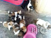 Cute Lhasa Apso Pups For Sale   Dogs & Puppies for sale in Lagos State, Lekki Phase 2