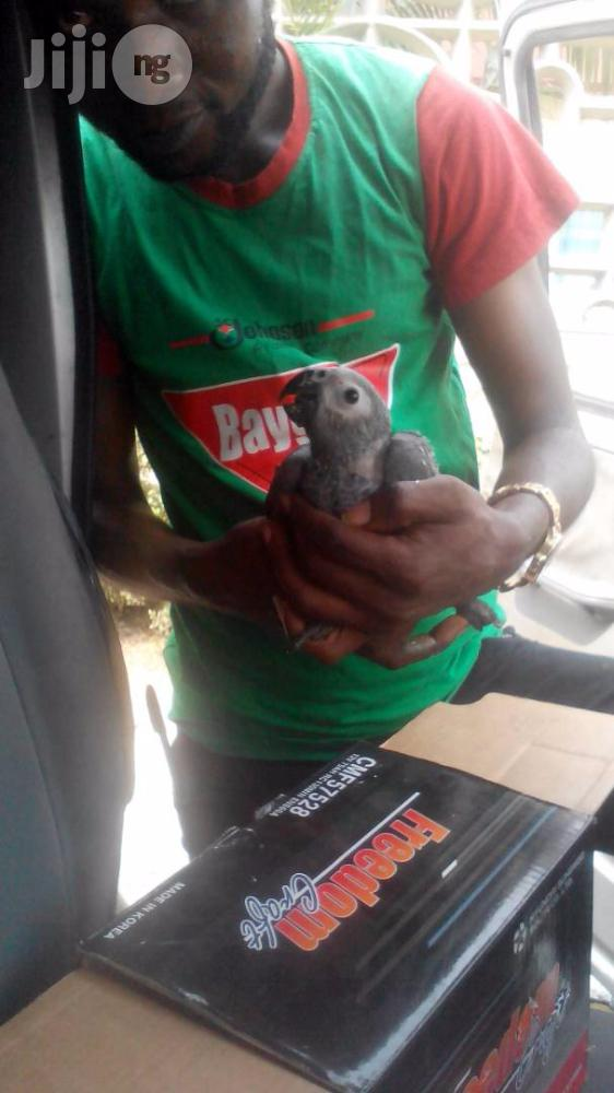 Well Treated Parrots | Birds for sale in Badagry, Lagos State, Nigeria