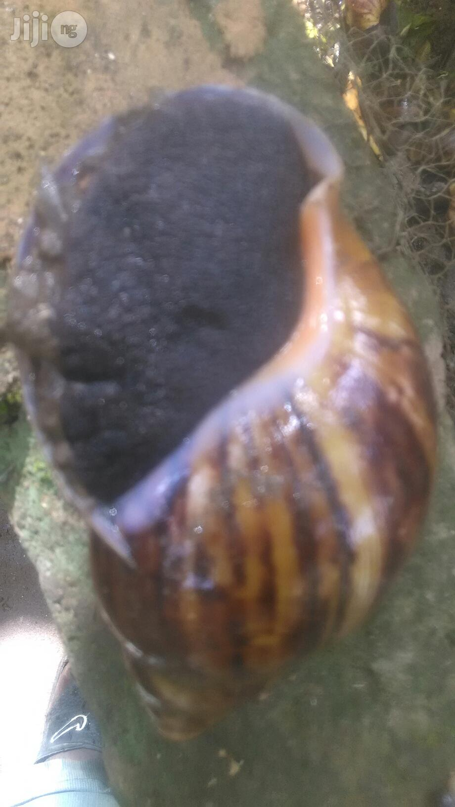 Snails For You | Other Animals for sale in Ado-Odo/Ota, Ogun State, Nigeria