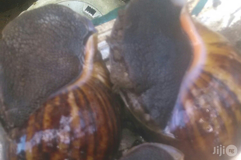 Jumbo Size Snails | Other Animals for sale in Ado-Odo/Ota, Ogun State, Nigeria