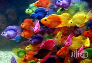Parrot Fish - New Aquarium Fishes | Fish for sale in Lagos State
