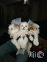 Lhasa Apso - Cute Indoor Pet Dogs Puppies Male and Female Available   Dogs & Puppies for sale in Lagos State, Lekki Phase 2