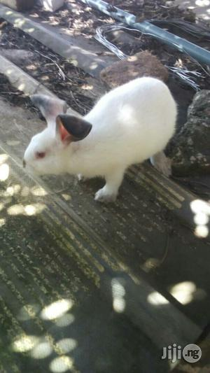 Hyla Breed Of Rabbits | Livestock & Poultry for sale in Lagos State, Alimosho