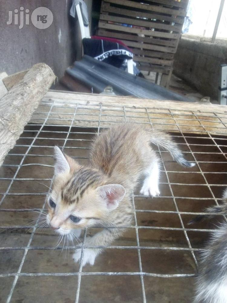 Young Male Purebred Bengal | Cats & Kittens for sale in Ikorodu, Lagos State, Nigeria