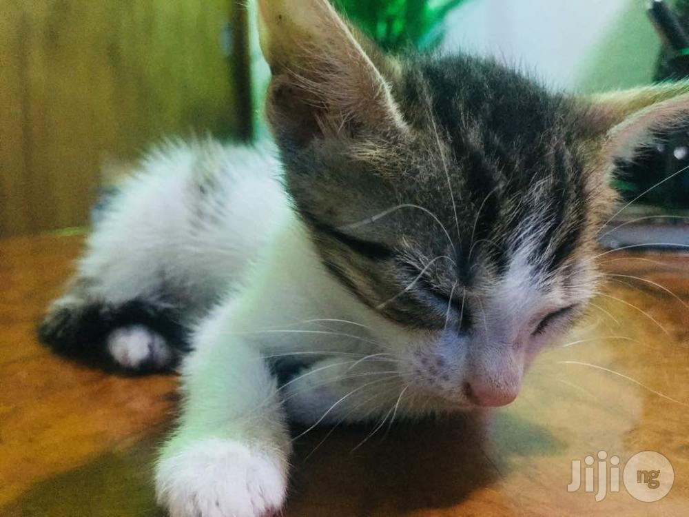 Young Male Purebred Bengal   Cats & Kittens for sale in Ikorodu, Lagos State, Nigeria