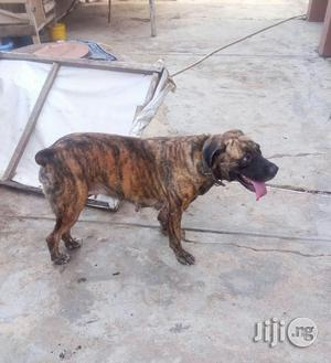 Adult Female Boerboel For Sale In Ibadan   Dogs & Puppies for sale in Oyo State, Ibadan