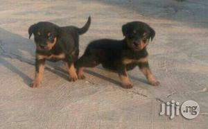 Baby Female Purebred Rottweiler   Dogs & Puppies for sale in Oyo State, Ibadan