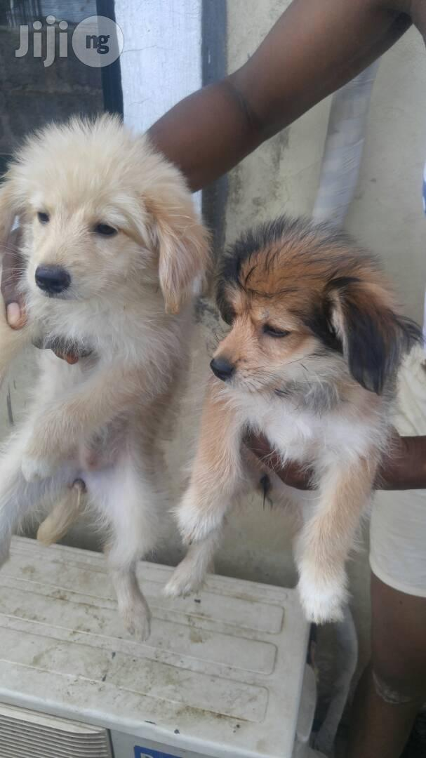 Baby Female Purebred | Dogs & Puppies for sale in Dutse-Alhaji, Abuja (FCT) State, Nigeria