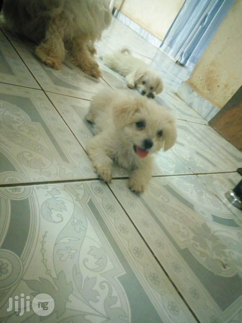 Baby Female Purebred Lhasa Apso   Dogs & Puppies for sale in Dutse-Alhaji, Abuja (FCT) State, Nigeria