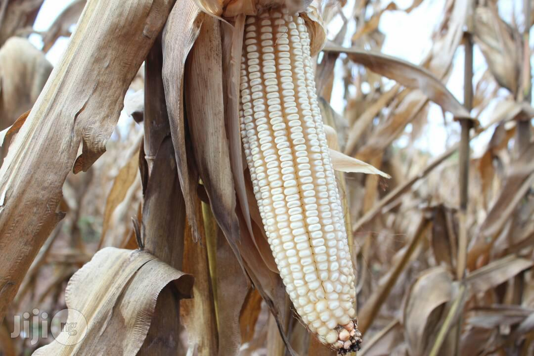 Hybrid Maize Corn | Feeds, Supplements & Seeds for sale in Kubwa, Abuja (FCT) State, Nigeria