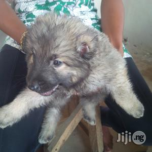 Caucasian Puppy | Dogs & Puppies for sale in Abuja (FCT) State, Gwagwalada