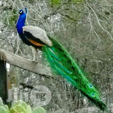 Male Ans Female Peacock Available For Sale