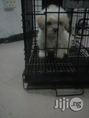 Pure White Cute Lhasa Apso Pups   Dogs & Puppies for sale in Lagos State