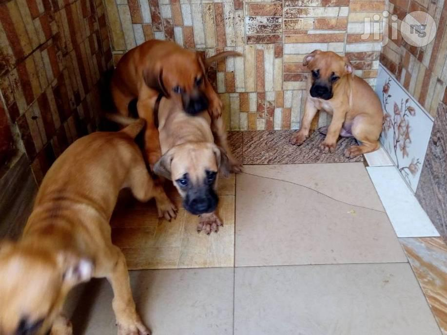 1-3 Month Male Purebred Boerboel   Dogs & Puppies for sale in Gwarinpa, Abuja (FCT) State, Nigeria
