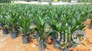 Palm Kernel Oil Palm Seedlings   Meals & Drinks for sale in Plateau State, Jos