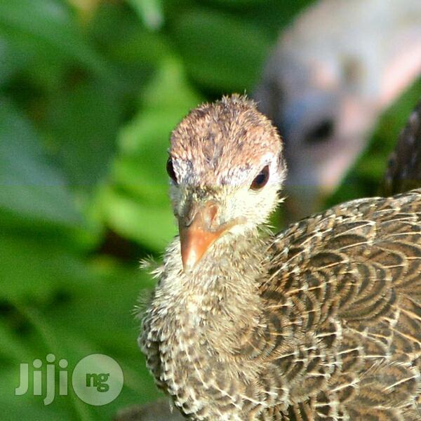 Adult Turkeys Available for Sale in Badagry | Livestock & Poultry for sale in Badagry, Lagos State, Nigeria