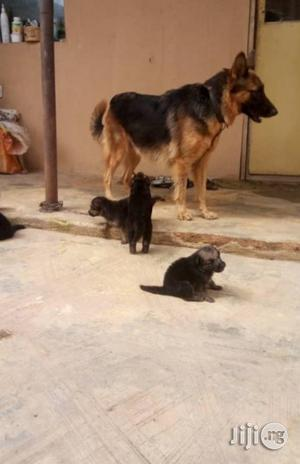 Young Male Purebred German Shepherd Dog | Dogs & Puppies for sale in Lagos State, Maryland