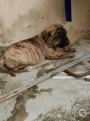 1-3 Month Female Purebred Boerboel | Dogs & Puppies for sale in Lagos State, Ajah