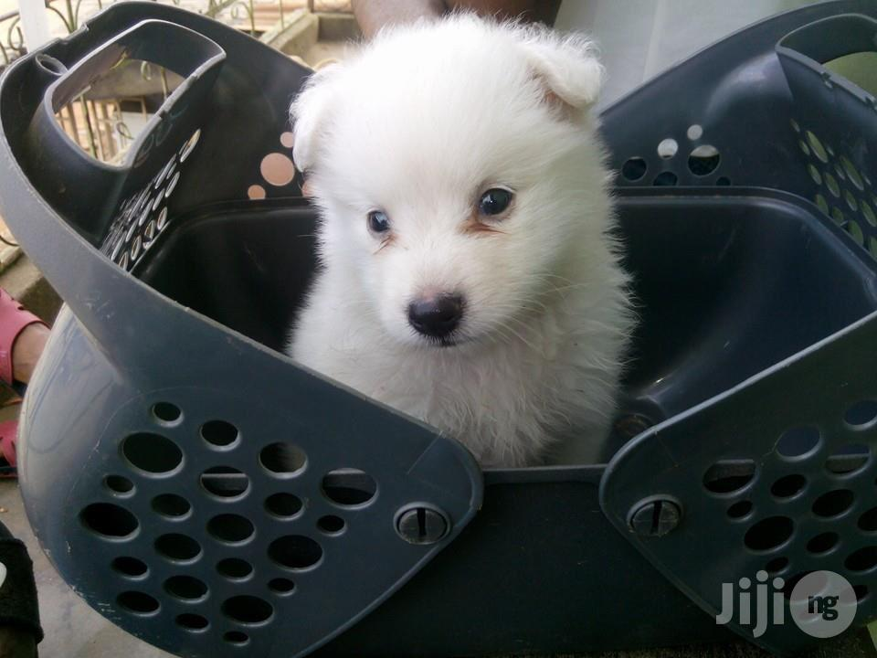 Samoyed Full Breed Pups | Dogs & Puppies for sale in Alimosho, Lagos State, Nigeria
