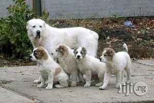 1-3 Month Female Purebred Anatolian Shepherd   Dogs & Puppies for sale in Lagos State, Alimosho