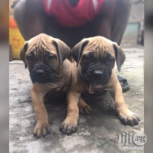 1-3 Month Male Purebred Bullmastiff   Dogs & Puppies for sale in Lagos State, Ipaja