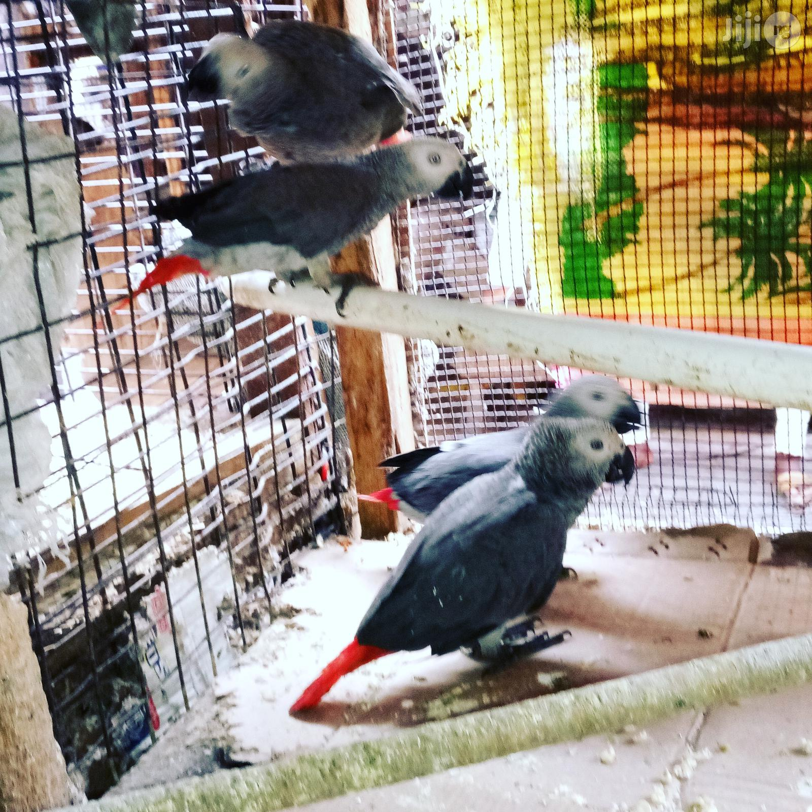 Africa Grey Talking Parrot