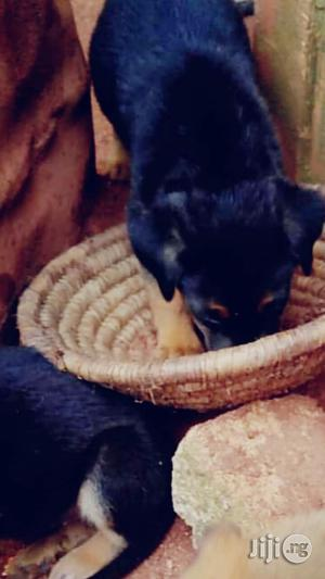 0-1 Month Female Purebred Rottweiler   Dogs & Puppies for sale in Edo State, Benin City